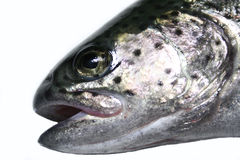 Trout head. The head of a salmon trout royalty free stock photos