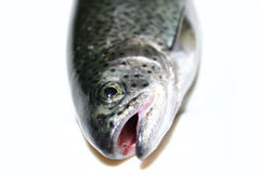 Trout head. The head of a salmon trout royalty free stock photo
