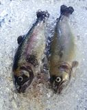 Trout on ice. Two fresh trouts are cooled on ice royalty free stock photo