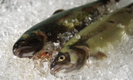Trout on ice. Two fresh trouts are cooled on ice royalty free stock photography