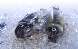Trout on ice. Two fresh trouts are cooled on ice stock photography