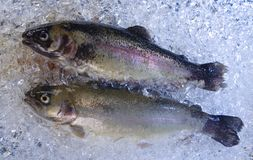 Trout on ice. Two fresh trouts are cooled on ice stock images