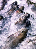 Trout in the ice. On the counter Royalty Free Stock Image