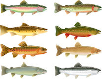 Trout. Illustrations of different trout species Stock Photography
