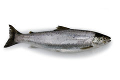 Trout - Isolated Stock Image