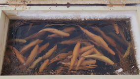 Trout jamb swimming in agriculture farm. View from top. Feeding window is open, it is winter time and sides of case are frozen, ice covered even some water stock footage