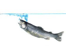 trout jumping into water Stock Images
