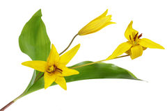 Trout Lily Royalty Free Stock Images