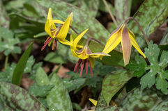 Trout Lily Royalty Free Stock Photos