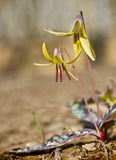 Trout Lily - Erythronium americanum Royalty Free Stock Images