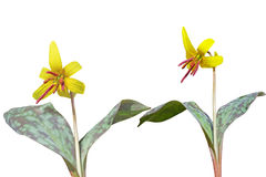 Trout lily plants Royalty Free Stock Image