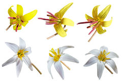 Trout Lily Set Royalty Free Stock Photos