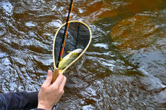 Trout in net. Wild brown trout in landing net catching royalty free stock image