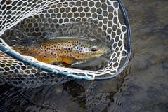 Trout in a net Stock Image