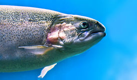 Trout (Salmo). The rainbow trout in blue stock photo