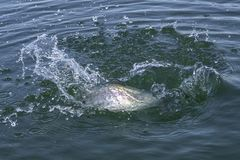 Trout salmon fish with splashing in water. Area fishing background. Trout salmon fish caught in water. Area fishing background stock photo