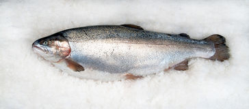 Trout salmonid on ice Stock Image