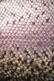 Trout scales, rainbow colours. Close up of rainbow trout scales Royalty Free Stock Photography