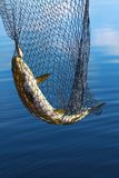 Trout in scoopnet. Stock Image