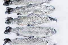 Trout in snow Royalty Free Stock Image