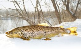 Trout in snow Royalty Free Stock Photos
