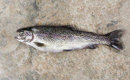 Trout on Stone Royalty Free Stock Image