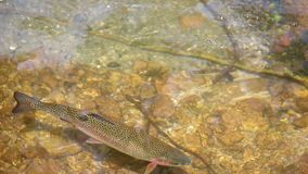 Trout swims. In a clear mountain stream stock video