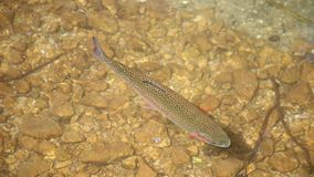 Trout swims in a mountain stream