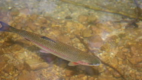 Trout swims in the river. Nature stock footage