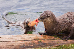Trout Tug-O-War. A mother river otter and her pup fight over a cutthroat trout. Yellowstone National Park royalty free stock photos