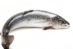 Trout on a white background. Raw fish trout closeup on a white background Royalty Free Stock Photo