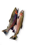 Trouts. Twou fish on white background with light shadows Stock Photos