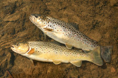 Trouts Stock Photography