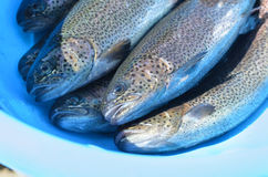 Trouts fish Royalty Free Stock Images