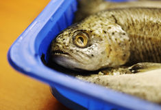 Trouts fish. In blue plate Royalty Free Stock Image