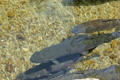 Trouts in fresh water Royalty Free Stock Photo