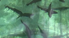 Trouts in the green stream stock footage
