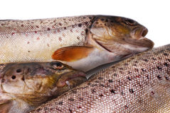 Trouts Royalty Free Stock Photography
