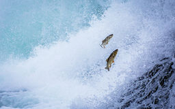 Trouts upstream against the current stock photo