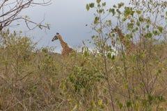 Trouvez la girafe parmi l'herbe Image stock