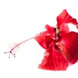 Trouwring met bloem Stock Afbeelding