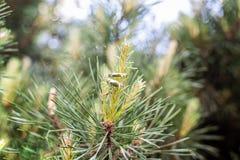 Trouwringen die op een tak van een naaldboom hangen royalty-vrije stock afbeelding