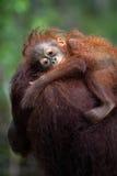 Trovandosi sulla spalla della mamma Immagini Stock Libere da Diritti
