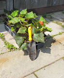 Trowel and bedding plants Royalty Free Stock Images