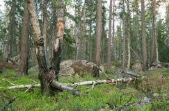 Trozo en bosque mezclado con los árboles de pino en parte quemados Imágenes de archivo libres de regalías