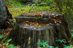 Trozo putrefacto viejo en la madera imagen de archivo