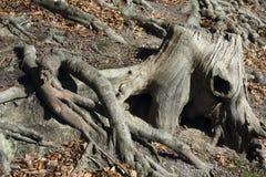 Trozo y raíces de una haya Fotos de archivo libres de regalías