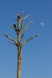 Trre et la lune Photographie stock