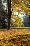 Trre with golden foliage Royalty Free Stock Photos