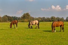 Três cavalos de pastagem em um prado holandês Fotos de Stock